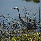 Great Blue Heron at Viera Wetlands by ValeriesGallery