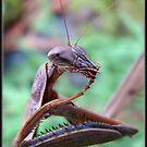 Praying Mantis by Gail Jones