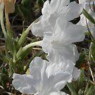 Wild White Petunias by Navigator
