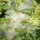 Seeds with Their Marvelous Parachutes, Longhorn Milkweed by Navigator