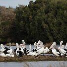 Australian Pelicans, Phillip Island, Victoria by Merrilyn Serong