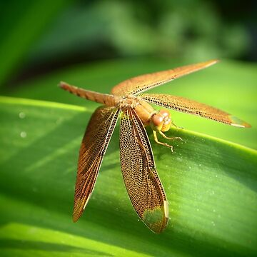 Dragonfly by Chanij74