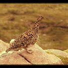 Highland Grouse by munros