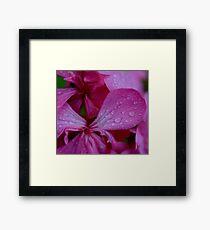 Pink rain on pelagonium Framed Print