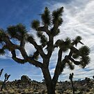 Joshua Tree (National Park) Mojave desert by David Chesluk
