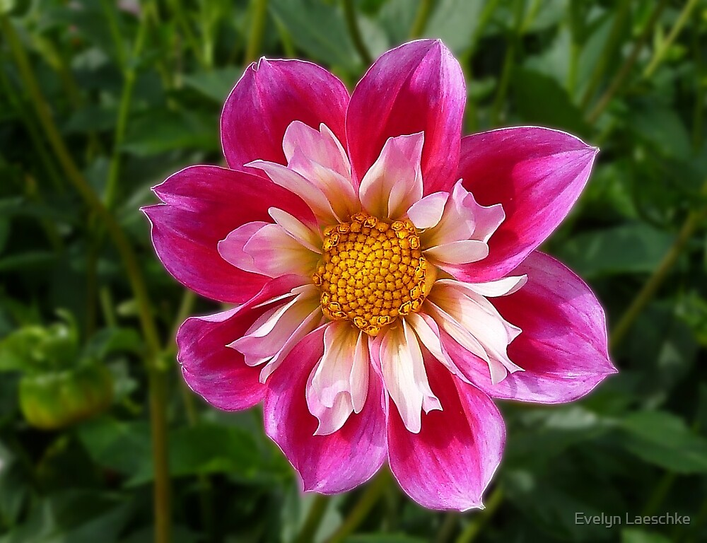 Dahlia pink-white by Evelyn Laeschke