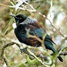 Me Boisterous... Never! - Tui NZ by AndreaEL
