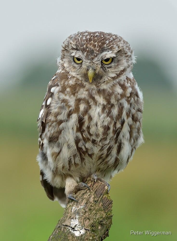 Grumpy Little Owl by Peter Wiggerman