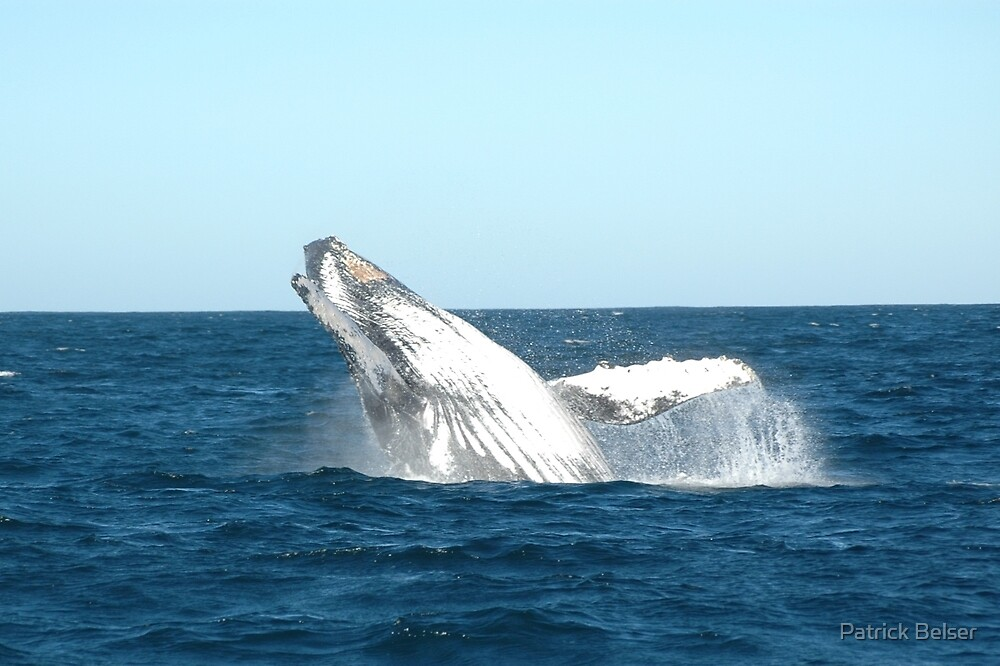 Humpback whale by Patrick Belser
