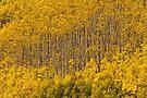 Aspen Golden Harp by Gregory J Summers
