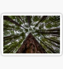Looking Up at Redwood Forest, East Warburton Sticker