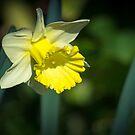 A Pretty little Daffodil by Clare Colins