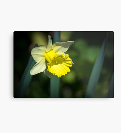 A Pretty little Daffodil Metal Print