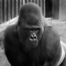 Gorilla at London Zoo by Sarah Horsman