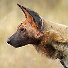 Wild Dog Profile by Anthony Goldman
