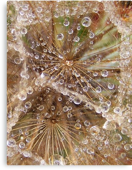 Jewels in the crown- Tragopogon porrifolius- Salsify by Coloursofnature