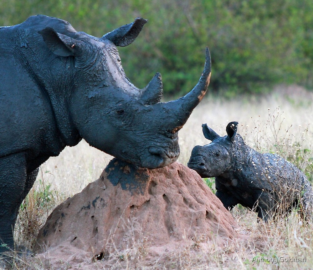 Rhino Mother and Child! by Anthony Goldman