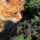 Ginger cat sniffing catnip plant by turniptowers