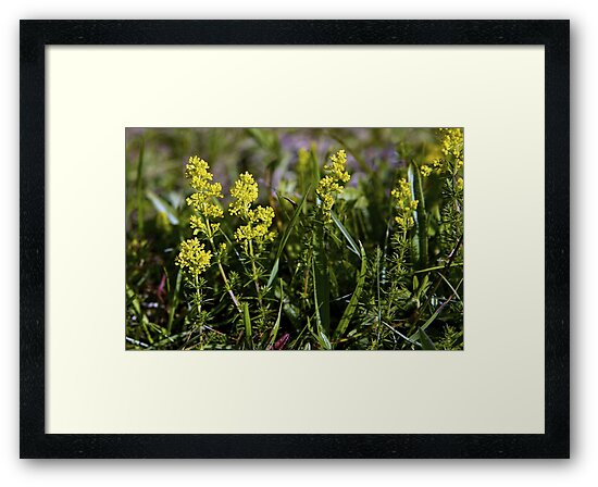 Galium Verum (Lady's Bedstraw), Inishmore, Aran Islands by George Row