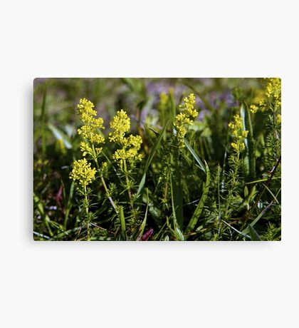 Galium Verum (Lady's Bedstraw), Inishmore, Aran Islands Canvas Print