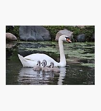 Mute Swan and her Cygnets Photographic Print