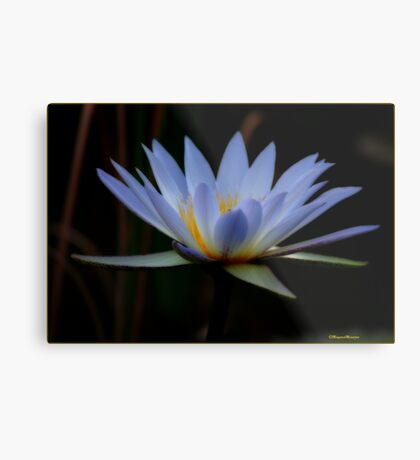 IN BLUE - THE WATERLILY - – Nymphaea nouchall Metal Print