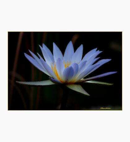 IN BLUE - THE WATERLILY - – Nymphaea nouchall Photographic Print