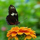 Doris Longwing Butterfly by Robin Clifton