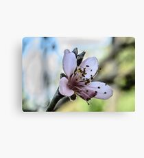 Peach Blossom Close Macro Canvas Print