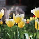Bright tulips by Maryna Gumenyuk