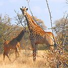 THE LATEST NEW COMMER!  The Giraffe baby ! by Magriet Meintjes