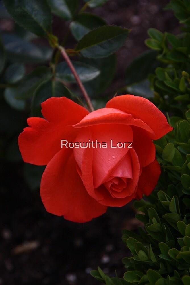 RedRose by RosiLorz
