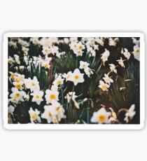 Daffodils 2 Sticker