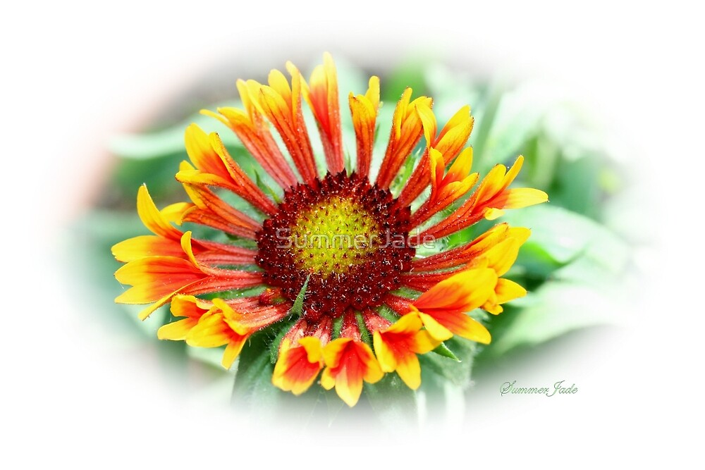 Gloriosa Daisy ~ Rudbeckia Hirta ~ Blanket Flower by SummerJade