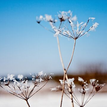 Queen Annes Lace Snow flowers by InspiraImage