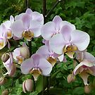 Orchids at Palazzo Parisio by Trish Meyer