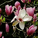 Magnolia Solangiana by Gabrielle  Lees