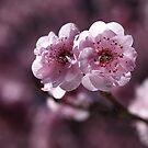 Prunus Blossom by Joy Watson