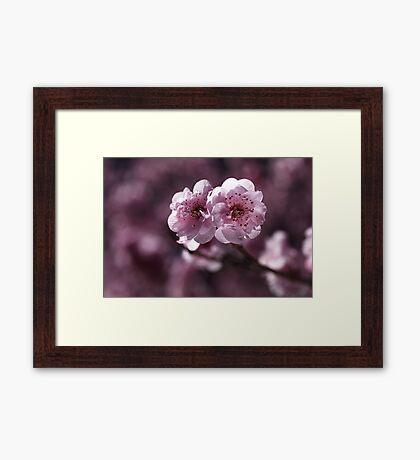 Prunus Blossom Framed Print