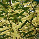 Wattle flowers by Jack Bridges