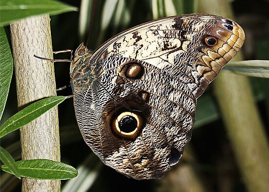 The Owl Butterfly by AnnDixon