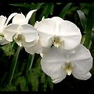 White orchid by Shaun Swanepoel