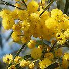 Wattle flowers 2 by Jack Bridges