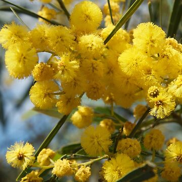 Wattle flowers 2 by JackBridges