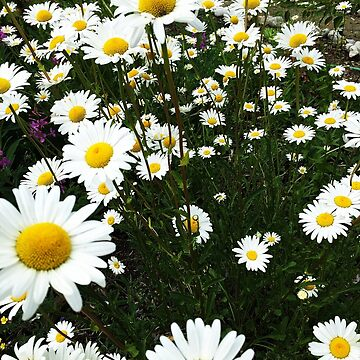 Daisies by TinyTulsi
