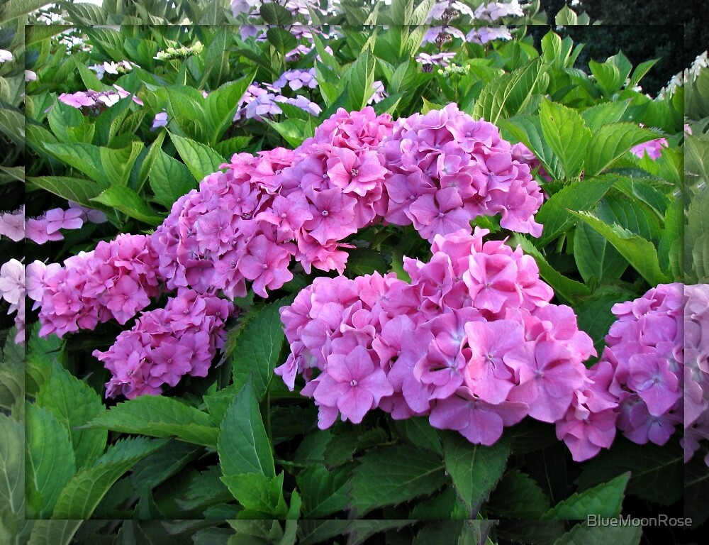 Vibrant Pink Hydrangea Blossoms  by BlueMoonRose