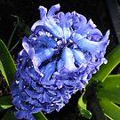 Blaue Hyazinthe Schönheit von BlueMoonRose