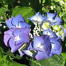 Beautifully Blue - Sunlit Hydrangea Blossom by BlueMoonRose