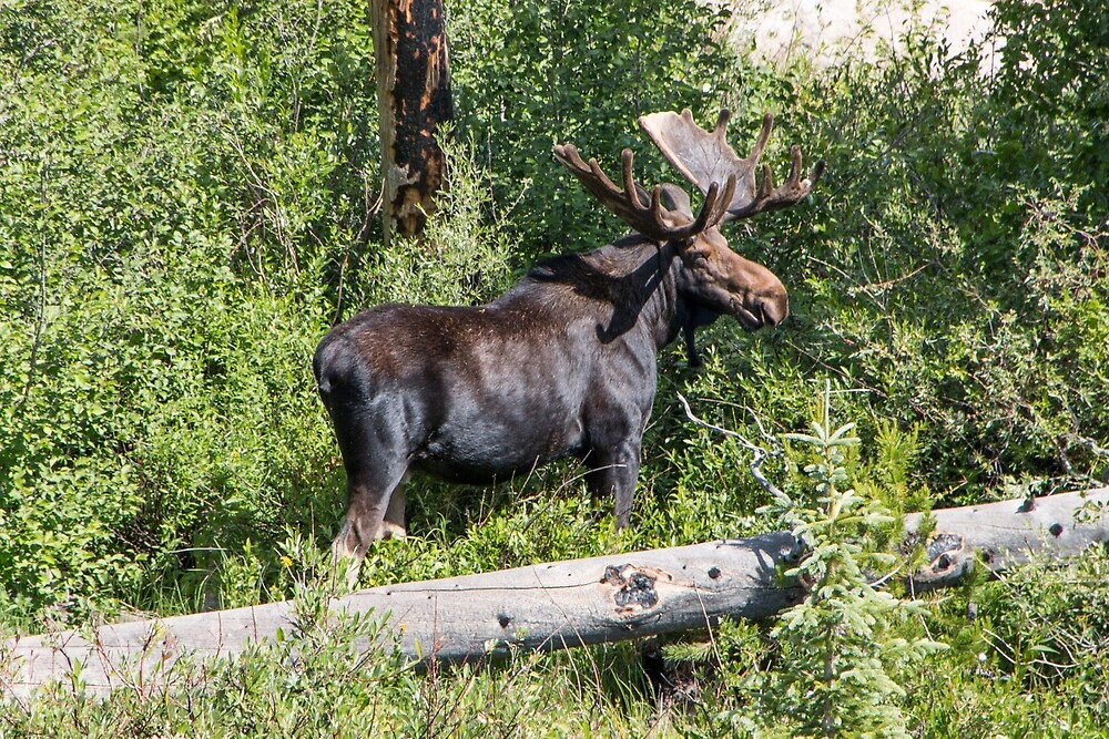 RMNP Bull Moose by Shea Oliver