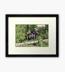 RMNP Bull Moose Framed Print